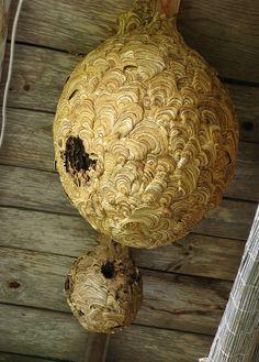 Japanese Wasp Nests
