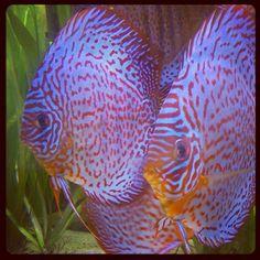 #diskus #discus #fish #aquatic #aquarium #discusfarm #discusfish #fishfarm…