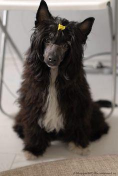 Китайская хохлатая собака - «Пуховая красавица Китайская Хохлатая!» | Отзывы покупателей