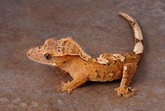Crested Gecko, by Jonathan Martin on Flickr                                                                                                                                                      More