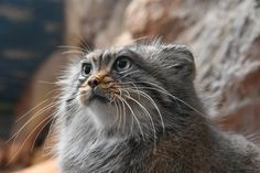 Felis Manul, Manul Cat, Serval Cats, Rare Cats, Exotic Cats, Cute Wild Animals, Animals And Pets, Cute Dogs And Puppies, Baby Dogs