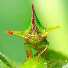 Treehopper with red Mite, Alchisme sp., Membracidae, via Flickr.