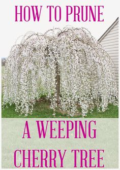Have you ever seen a weeping cherry tree with a bad haircut? Or, did you buy a weeping cherry tree from the local nursery, but have no idea how to prune it? Potted Trees, Trees And Shrubs, Flowering Trees, Dogwood Trees, Bonsai Trees, Weeping Cherry Tree, Weeping Willow, Dwarf Weeping Trees, Weeping Mulberry Tree