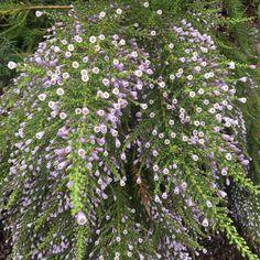 Fabiana imbricata forma violacea.  Specimen growing at Heronswood.