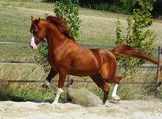 """Résultat de recherche d'images pour """"cheval isabelle pommelé"""""""