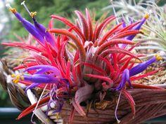 チランジア、エアプランツ、ティランジア、イオナンタ、開花
