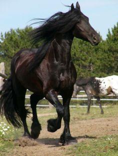 Freisian Horses by june