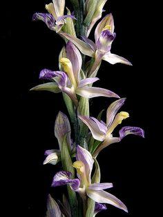 Limodorum abortivum by E-Infantes, via Flickr