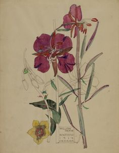 still life quick heart — Charles Rennie Mackintosh Willow Herb, Buxstead . Charles Rennie Mackintosh, Botanical Drawings, Botanical Prints, Art Nouveau, Illustration Botanique, Museum Art Gallery, Glasgow School Of Art, Art Graphique, Arts And Crafts Movement