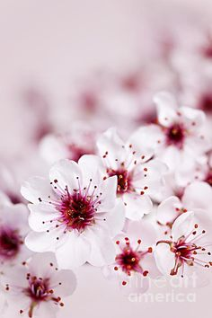 Cherry Blossoms, by Elena Elisseeva