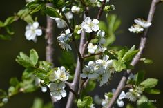 Plum Tree in Bloom, Prunus Domestica, Sunday, 18th May 2014, in the Garden.