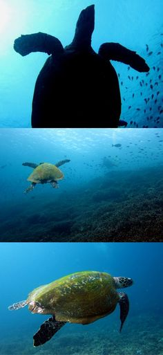Turtles - Let you be surprised: how I ended up scuba diving in Komodo, Indonesia – Flores – How to go scuba diving to Komodo from Bali – World Adventure Divers – Read more on https://worldadventuredivers.com/2012/02/21/scuba-diving-in-komodo-indonesia/
