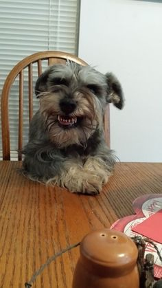 All time faves! | A community of Schnauzer lovers!                                                                                                                                                                                 More