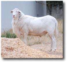 st croix sheep | River Bend Ranch St. Croix hair sheep rams won first in the following ...                                        He is so handsome!