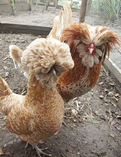Buff Laced Polish Chicken Breed Information and Pictures by Pets Planet Frizzle Chickens, Silkie Chickens, Chickens And Roosters, Beautiful Chickens, Beautiful Birds, Animals Beautiful, Backyard Chicken Coops, Chickens Backyard, Polish Chicken