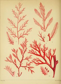 A popular history of British sea-weeds,.  London,Reeve and Benham,1851.  Biodiversitylibrary. Biodivlibrary. BHL. Biodiversity Heritage Library.