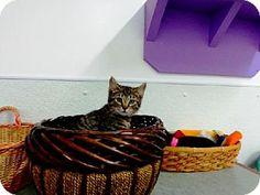 Belleville, MI - Domestic Shorthair. Meet Frito a Kitten for Adoption.