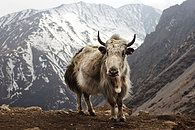 """wigmund: """" From Wikipedia Picture Of The Day; February A Yak (Bos grunniens) at Letdar on the Annapurna Circuit in the Annapurna mountain range of central Nepal. Mostly domesticated, these. Nepal, Beautiful Creatures, Animals Beautiful, Animal Photography, Nature Photography, Farm Animals, Cute Animals, Mundo Animal, Animals Of The World"""