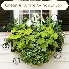 Green and White Window Box Inspiration for Shady areas 1 - Aaron Caladium 2 - Holly Fern 3 - Key Lime Pie Heuchera 4 - White Nancy Lamium 5 - Light Pink Periwinkle 6 - Ivy
