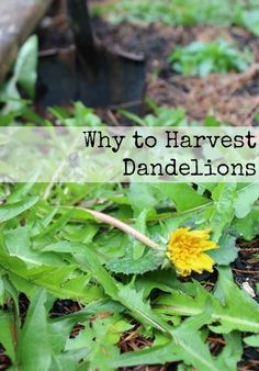 Why to Harvest Dande
