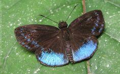 Proxenus Blue Skipper (Pythonides proxenus)
