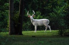 Albino Deer East tennessee