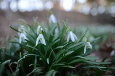 Love the delicate blooms of Snowdrops Spring Bulbs, Spring Blooms, Landscape Design, Garden Design, Delicate, Gardening, Plants, Landscape Designs, Lawn And Garden