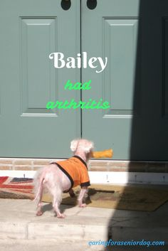 Bailey had arthritis, but with a few simple lifestyle changes, life was a lot more comfortable for him. caring for a senior dog, senior dog health issues, how to care for a senior dog,