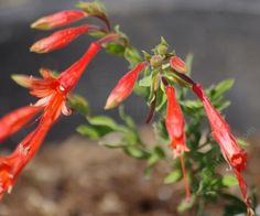 The California Fuchsia was growing out the the desert.