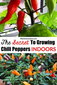 Fruit Plants, Fruit Garden, Growing Vegetables, Growing Plants, Thai Peppers, Chili, Chilli Plant, Growing Peppers, Pepper Plants