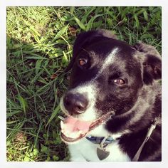 Bordercollie mix - looks almost just like my dog!
