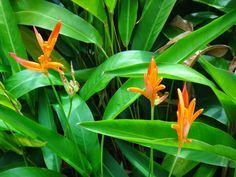 Uma flor por dia: Helicônia -papagaio , Psitacorum