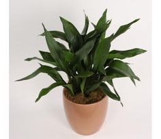 monstera als zimmerpflanze pflanzen pinterest pflanzen garten und zimmerpflanzen. Black Bedroom Furniture Sets. Home Design Ideas