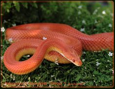 orange snake Reptiles And Amphibians, Happy Colors, Snakes, Colour, This Or That Questions, Orange, Bebe, Color, Snake