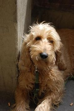 I've been lusting after an Italian Spinone for some time - they're so sweet!