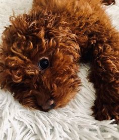We would like to introduce our best collection of the 71 best dog name ideas for male Poodles. Dog Names Male, Best Dog Names, Best Dogs, Goldendoodle, Poodles, Diana, Ideas, Collection, Standard Poodles