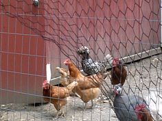 Chickens at Foxy's. Oregon, IL