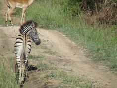 Baby Zebra at Londolozi Lodge Game Resort - South Africa