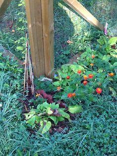Koiratarhan kulmilla viihtyy samettikukka ja köynnöksenä ehkä joskus kiipeää Clematis. Kevätkaihonkukka sinipunaisine kukkineen aloittaa kesän tässä kulmassa.