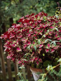 A coleus look-alike, perilla also features fabulous foliage, though in a more limited range of colors. Varieties such as 'Magilla' (shown here) offer variegated leaves. Older selections have pure purple foliage, tend to self-seed freely in the garden, and are sometimes used in Asian cooking./