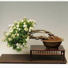 Resultado de imagem para bonsai bougainvillea branca