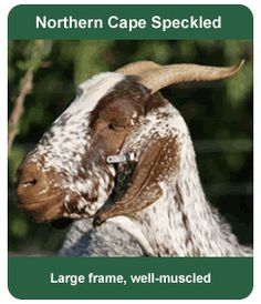 Indigenous Veld Goats