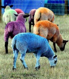 #JustCavalli Loves the multi-coloured sheep at Latitude Festival, UK