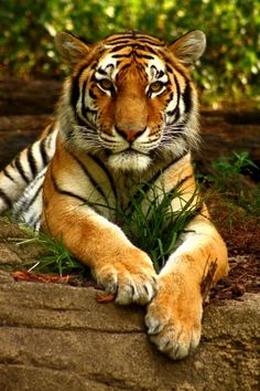 Born in the year of the Tiger Beautiful Cats, Animals Beautiful, Cute Animals, Tiger Wallpaper, Animal Wallpaper, Tiger Pictures, Cute Animal Pictures, Big Cats, Cool Cats