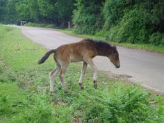 In the New Forest - wild ponies