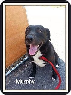 Tappahannock, VA - Labrador Retriever Mix. Meet Murphy, a dog for adoption. Act quickly to adopt Conrad. Pets at this shelter may be held for only a short time. http://www.adoptapet.com/pet/11037288-tappahannock-virginia-labrador-retriever-mix
