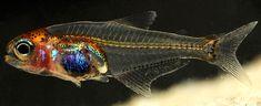 Um dos menores peixes do mundo (17mm), o animal tem suas escamas transparentes. Da Amazonia /Natural History Museum)