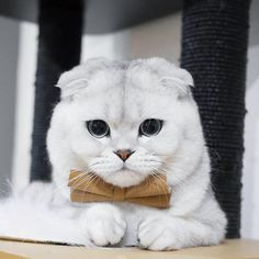 Best Totally Free cats and kittens scottish fold Concepts When you get a fresh kitten within your property, it's an exhilarating occasion, as well as for many canine Funny Cute Cats, Cute Kittens, Cute Cats And Kittens, Cool Cats, Munchkin Cat Scottish Fold, Scottish Fold Kittens, Beautiful Cats, Animals Beautiful, Cute Animals