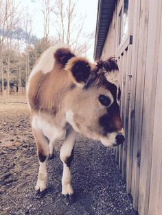 Baby Cow Loves To Play Hide-And-Seek With The Woman Who Saved Him