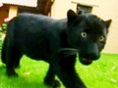 Baby Pete and his fellow Panther Cubs learn how to prowl. We swoon over these cute felines. #ChapmanU